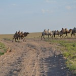 Camel herd on the lose - Mongolia Gobi Desert