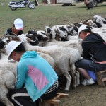Mongolian ladies milking goats (200 goats twice a day)