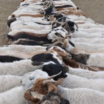 Goats tethered to long line for milking - Mongolia