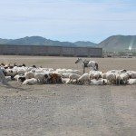 Sheep going to market - outskirts of UB, Mongolia