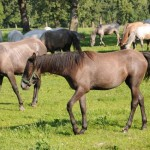 Mares and foals at pasture - Lippizaner stud farm - Lipica, Slovenia