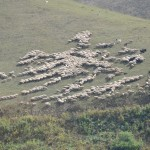 Two thousand sheep in high pasture - Georgia