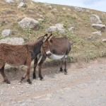 Donkey and foal - Georgia